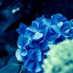 紫陽花(あじさい)の種類を名所で楽しみ自宅で育てたい方へ