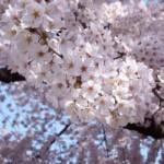桜の開花予想2017【例年より早いか遅いかは冬の気温で決まる!?】