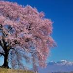 【一本・しだれ・夜】桜の名所で外せない全国絶景スポット