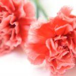母の日の花の選び方:花言葉によってカーネーションの色や種類を考えよう