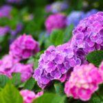 母の日にアジサイを今年はおすすめしたい!実はこんな色も花言葉もあった!